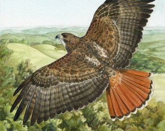 Red-Tailed Hawk in Flight - 8X8 inch Print - Wildlife Raptor Art Print