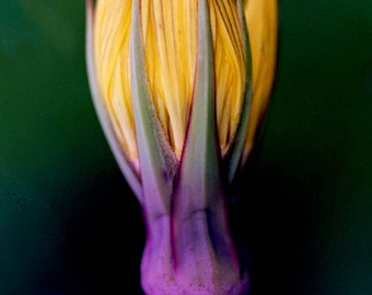 Bold Purple And Yellow Flower Photograph, Purple And Yellow Art, Yellow And Purple Wall Art, 8x10 Print