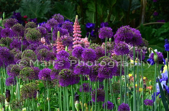 Purple Pink Green Onion Lupine Flowers Garden Photography