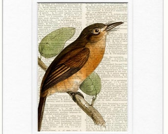 Bird, Rusty-Breasted Nunlet print