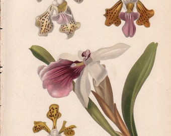 1800s Antique Orchid Print, Victorian Botanical Print, Botanical Wall Art, 1800s Hand Colored Engraving, 1850s White Asian Orchid Print 10