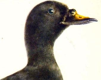 Common Scoter Duck Melanitta Nigra Bird Ornithology Natural History Lithograph Print 1960s Illustration To Frame 78