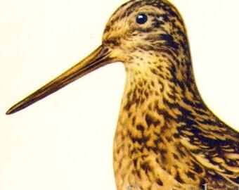 Common Snipe Capella Galinago Bird European Ornithology Vintage Natural History Lithograph Print 1960s Illustration To Frame 40