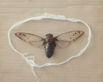 Bound Cicada - FREE SHIPPING Fine Art Still Life Print Cicada Bug Insect Wings String White Brown Cardboard Natural Creepy Nature Image