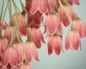Pink Flower Photo, Large Wall Art, Enkianthus Flower Print, Large Artwork, Large Photography Print, Large Photograph