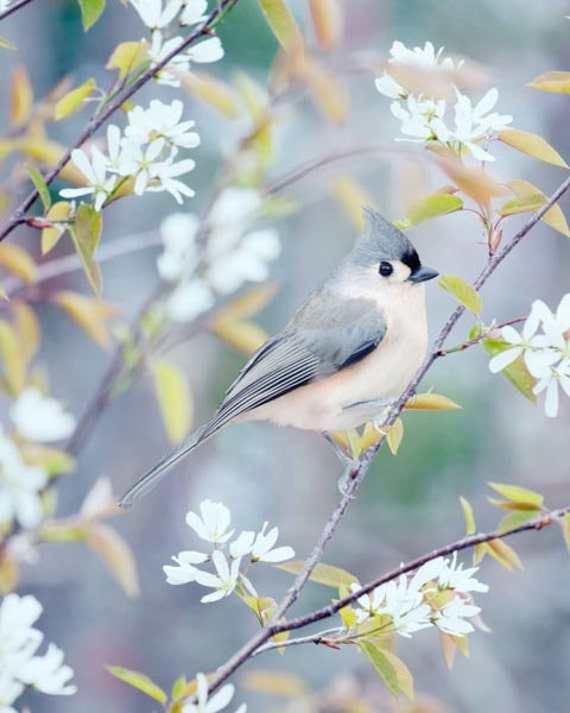 Tufted Titmouse Bird Photography Print, Nature Photography Bird Print, Bird Art Print, Bird Photo, Woodland Animal Art Print 5x7 8x10 11x14