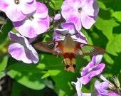 Hummingbird Moth,  8.5x11 Original Art By, Home Wall Décor  Paper-Mâché Dream Photography