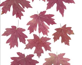 Clip art autumn maple leaves