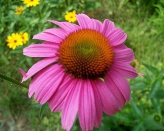 30 fresh purple coneflower seeds echinacea purpurea Free Shipping