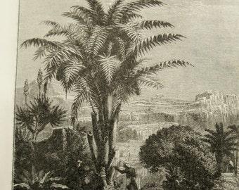 Wine Tree, 1887 Antique engraving, Vintage Sago Palm tree print