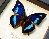Framed Butterfly Real Blue Sky Butterfly Anaea cyanea Conservation Quality 137
