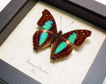Framed Butterfly Turquoise Emperor Real Butterfly Display 305
