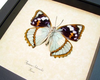 Rare Seafoam Blue Unusual Framed Butterfly Display 148