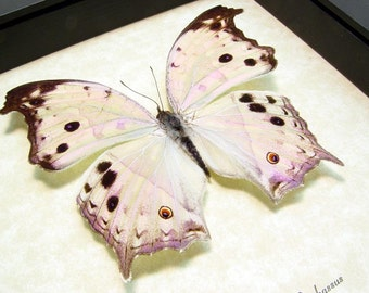 Mother Of Pearl Real Framed Butterfly 200