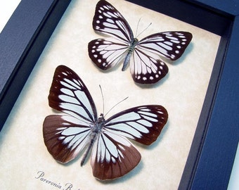 Real Framed Butterfly Powder Blue Pareronia Boebera Pair the Wanderer Shadowbox Display 8162
