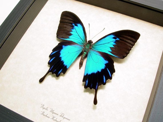 Unusual Real Blue Papilio Telegonis Butterfly Display 118