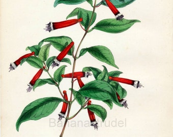 1847 Rare Vintage Botanical Print by Joseph Paxton - Cuphea Platycentra - Handcolored