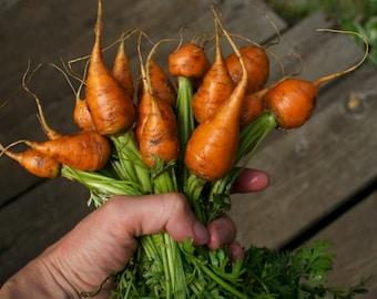 Parisian Carrot Seeds - Round Orange Heirloom Carrots for your Vegetable Garden