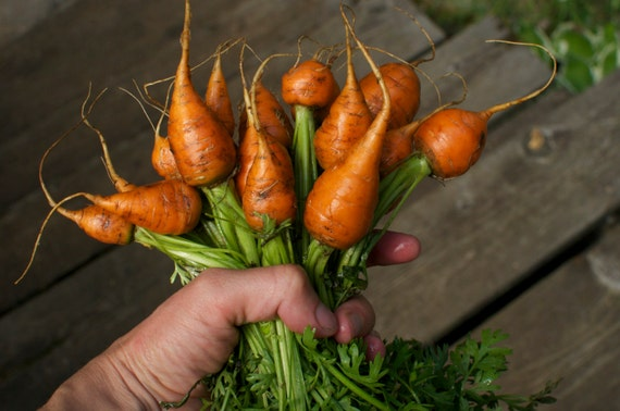 Parisian Carrot Seeds - Round Orange Heirloom Carrots for your Vegetable Garden