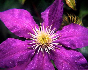Grouping of three Fine Art Photo of Clematis, Tippecanoe County Indiana (add one photo to cart at a time)