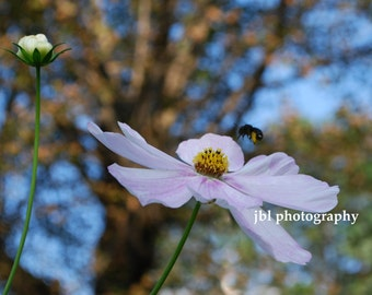 "Nature Photography, Flower Photography, Bumble Bee, Pollination, ""Running Errands"", Life of a bee, Daily Routine, Summer Blooms, Cosmo, Pink"