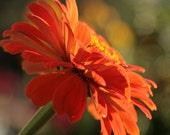 Celosia Orange Zinnia Photo tangerine pumpkin vibrant garden flower photography Fine Art Giclee 8x10
