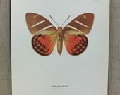 Vintage Moth Print / Castnia Icarus / Full Color Moth Book Plate Illustration