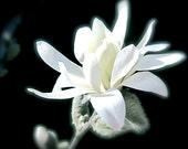 DIGITAL DOWNLOAD Flower Nature Photography Black White Spring Star White Cream Ivory Daffodils Magnolia stellata Yellow