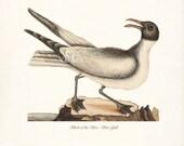 Coastal Decor Sea Bird Natural History Wall Decor Art Print - Sea Gull
