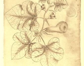 Brazilian Flora Sketch Drawing Vintage Print,  Cucurbitaceae by Frei Cristovao de Lisboa