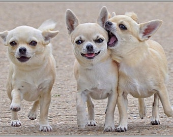 4 Dog Puppy Chihuahua dogs puppies friends Greeting Notecards/ Envelopes Set