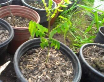 Starfruit Tree Averrhoa Carambola 1 Gallon