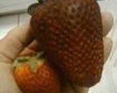 25 Giant Strawberry Seeds-1105A