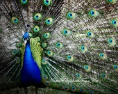 Peacock Photograph,Peacock,Nature, Color,Teal,Animal,Whimsical,Colorful, Shimmering,Feathers,Bold,Preppy,Fashion Art, Peacock Theme
