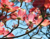 Pink Dogwood Tree Blooms, Photography, Home Decor, Vinyl Wall Decal, by Abby Smith, (FREE SHIPPING)