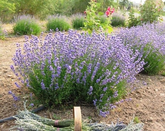 French or English Lavender Bouquets -  2 organically grown