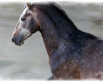 "ANDALUSIAN COLT - ""ARISTA"", Horse Photo, Action Photography, Edition Art Print, Wall Decor, Equine Art"