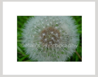 Flower Nature Seed Garden Dandelion Weed Macro, Cottage Decor, Original Photograph, Fine Art Photography signed matted 5x7 print