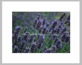 Purple Summer Lavender Fields Blue Green Purple, Garden Photography, Flower Photography, Fine Art Photography signed matted 5x7 print