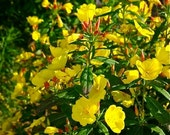 Missouri Primrose Seeds - Oenothera - Ozark Sundrops -- Medicinal Herb