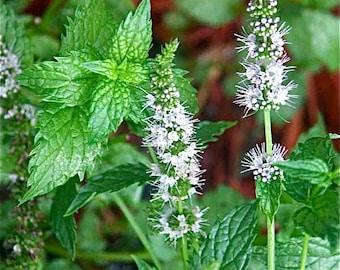 Mint Seeds - Peppermint - Mentha piperita - medicinal herb