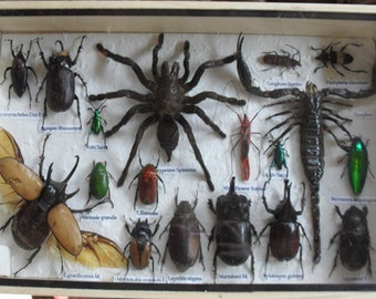 REAL Multiple INSECTS BEETLES Spider Scorpion Collection in wooden box/is08Z