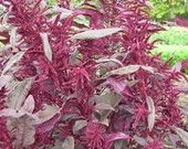 Red Garnet Heirloom Amaranth Seeds Non GMO Naturally Grown Open Pollinated Clearance Sale