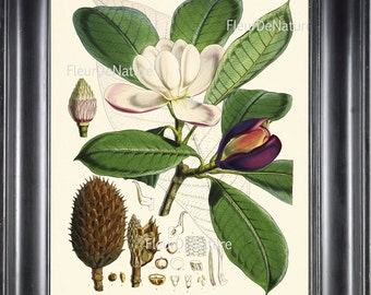 BOTANICAL PRINT Fitch 8x10 Botanical Art Print 6 Beautiful White Magnolia Flower Tree Branch Garden Nature Plant Seeds to Frame Home Decor