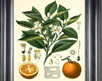 BOTANICAL PRINT Kohler 8x10 Botanical Art Print 31 Beautiful Orange Citrus Tree Blooming White Flower Chart to Frame