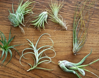 Easy to care for Air plants for sale- add on a SINGLE Tillandsia to any order