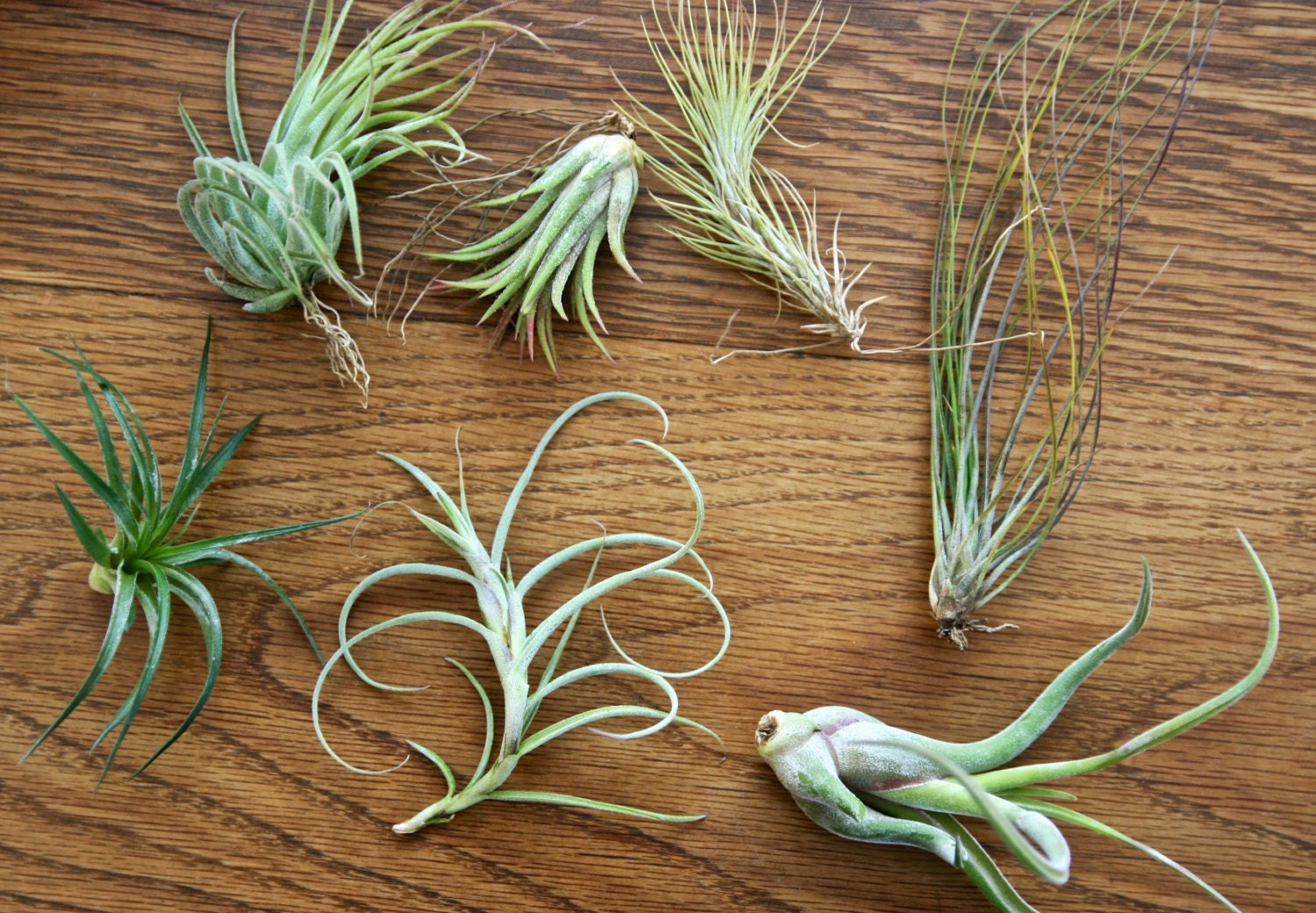 Easy To Care For Air Plants For Sale Add On A Single