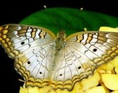 Butterfly Photo White Peacock Butterfly on a Yellow Hydrangea Flower Flowers Garden Fine Art Photography - ShawnElizaCreations
