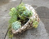 Succulent Centerpiece Planter LIve Plants in Sea Shell Miniature Garden Turban shell potted with baby succulent plants