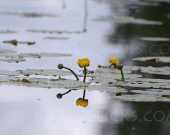 Nature Photograph, Yellow Water Lily, Fine Art Photography, Reflections, Water, Lake Scene, Lake Decor, Lily Pad, UpNorth, Home Office Decor